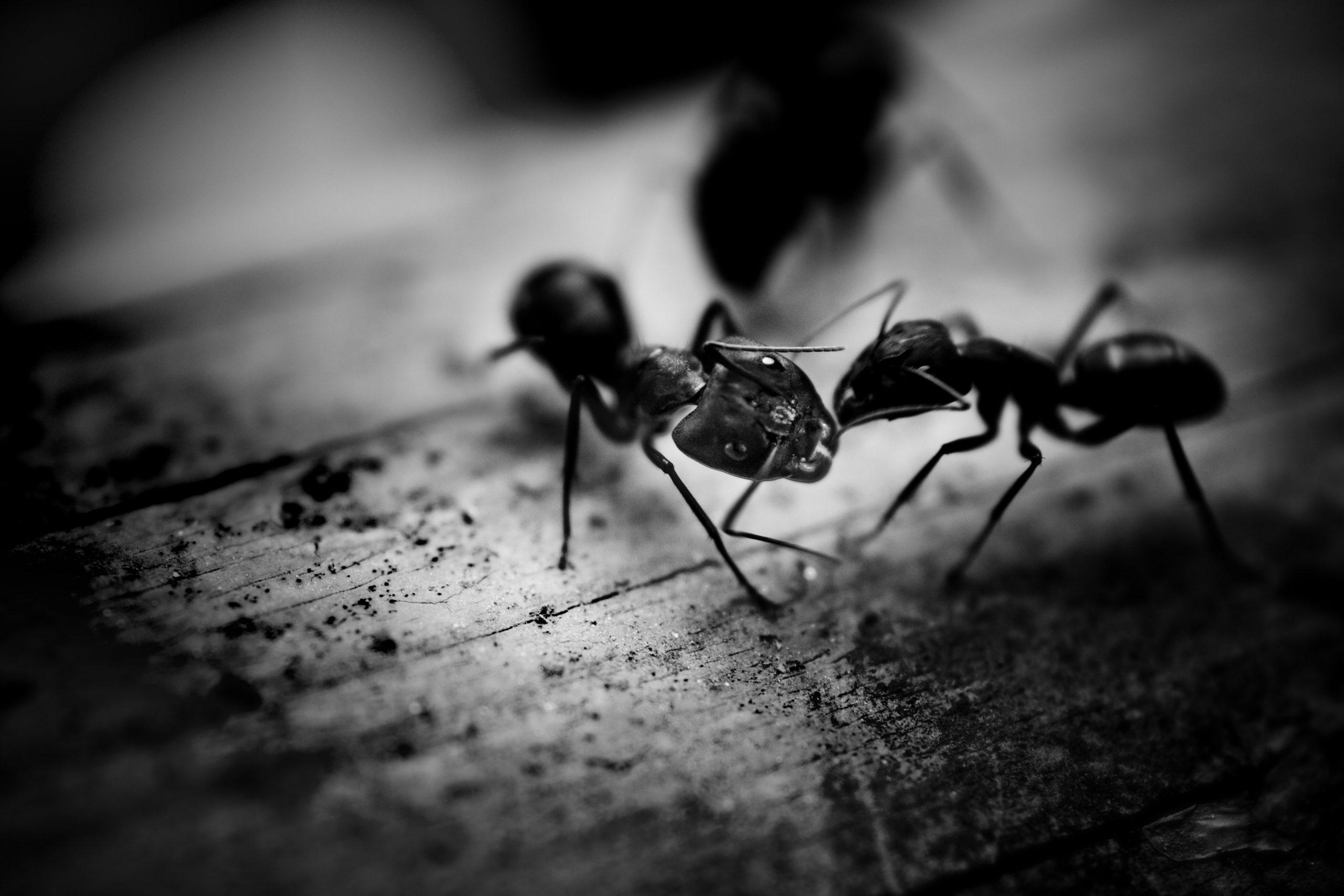 Faire Fuir Les Fourmis fourmis - pk extermination